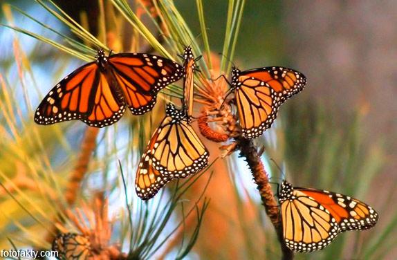 Миграция бабочек Фото 3