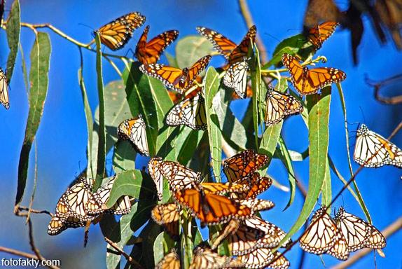 Миграция бабочек Фото 4