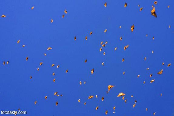 Миграция бабочек Фото 5