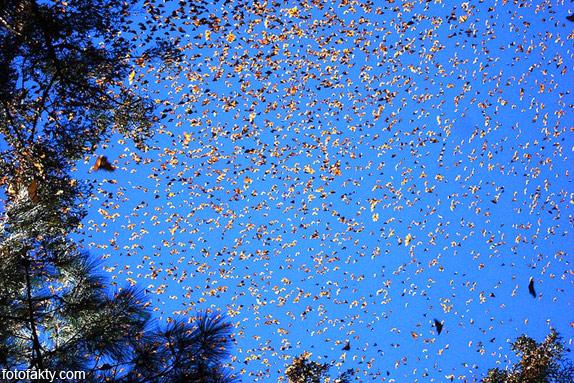 Миграция бабочек Фото 6
