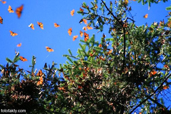 Миграция бабочек Фото 7