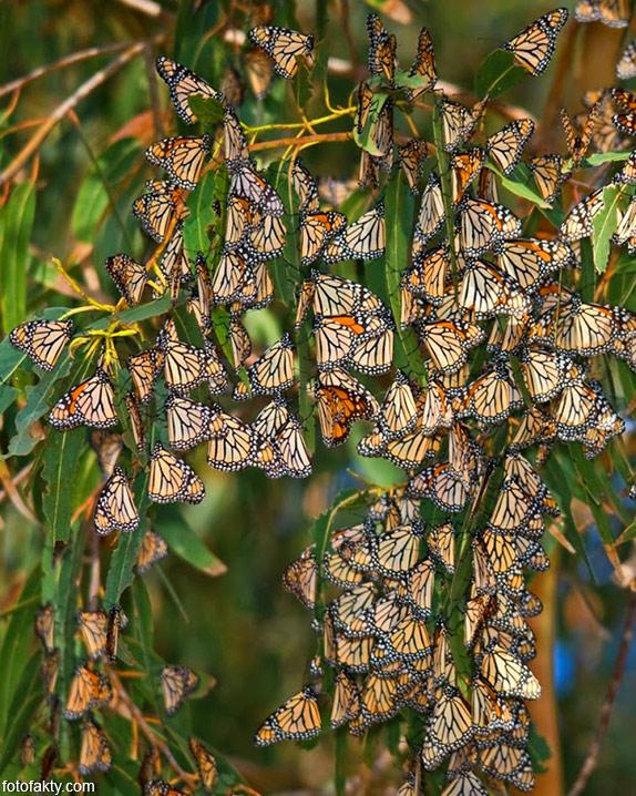 Миграция бабочек Фото 8