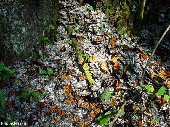 Миграция бабочек Фото 9
