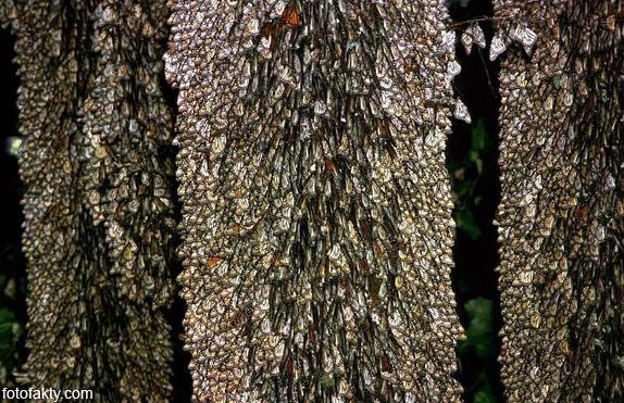 Миграция бабочек Фото 13
