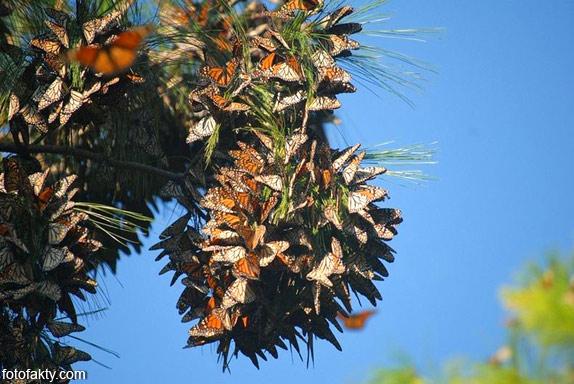 Миграция бабочек Фото 15