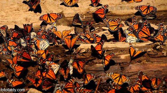 Миграция бабочек Фото 16
