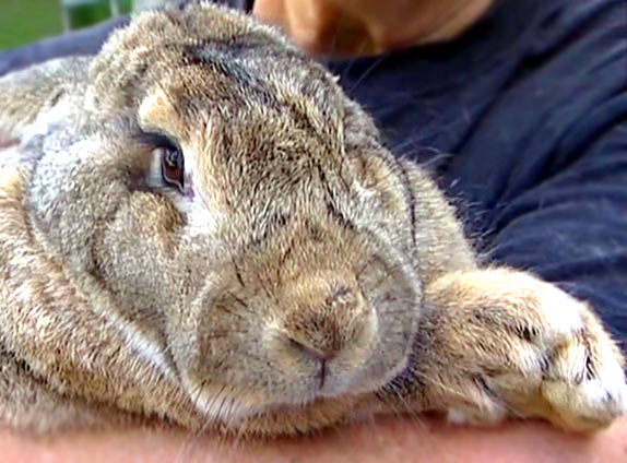 Ральф - самый большой кролик в мире
