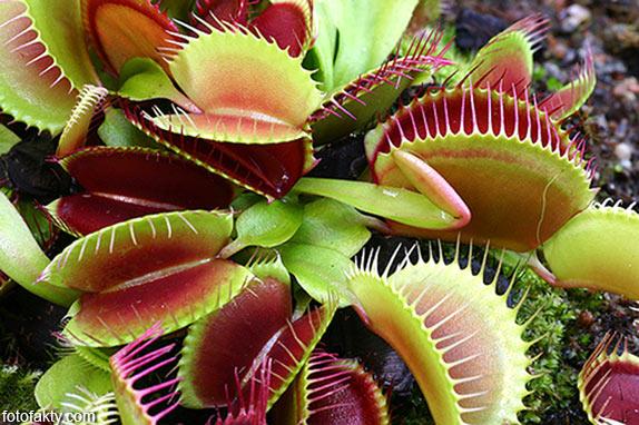удивительные хищные растения Фото 2