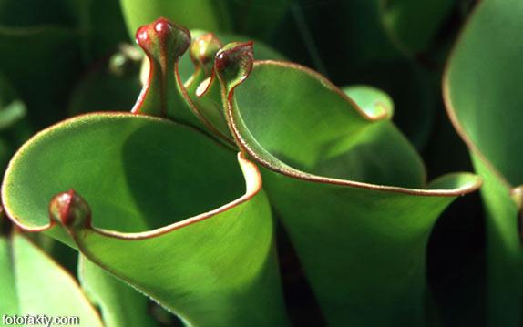 удивительные хищные растения Фото 7