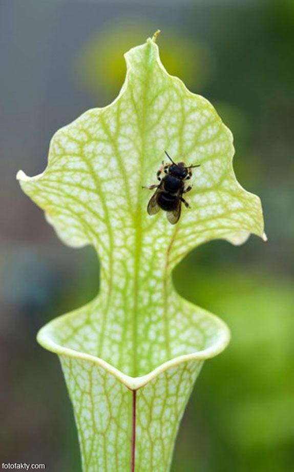 удивительные хищные растения Фото 9