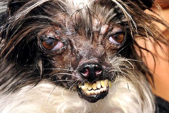 Конкурс самые уродливые собаки