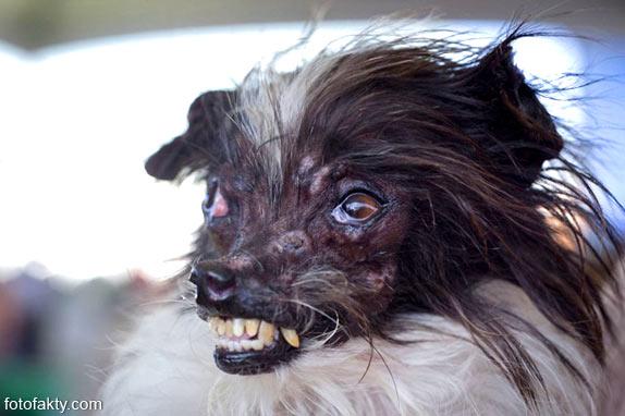 Самые уродливые собаки Фото 9