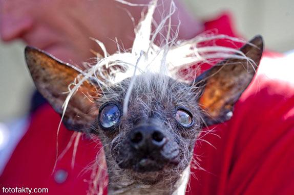 Самые уродливые собаки Фото 10