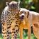 Дружба гепардов и собак
